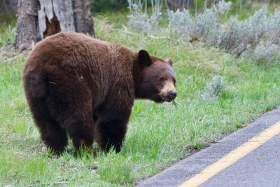 Brown bear in Grand Tetons