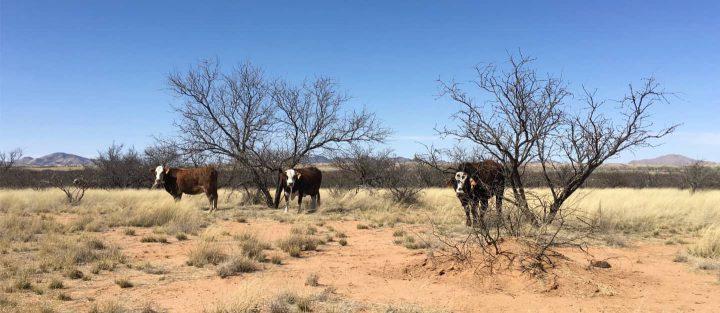 Cows at Las Cieneguita Arizona