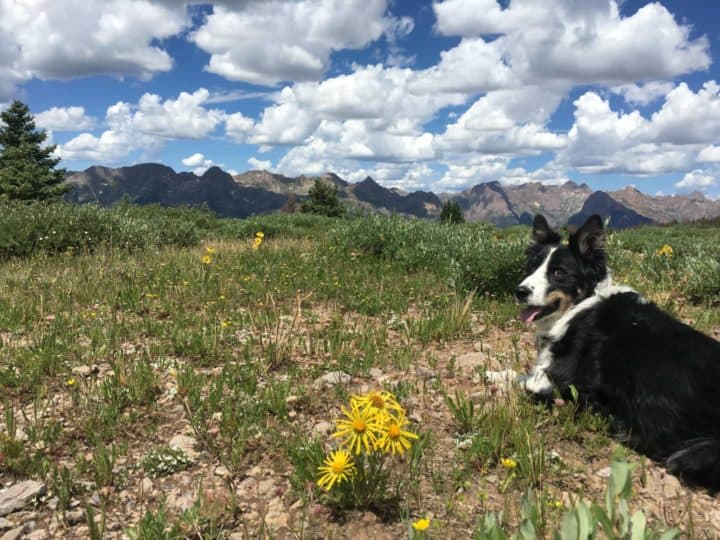 Dog lying down in Colorado meadow