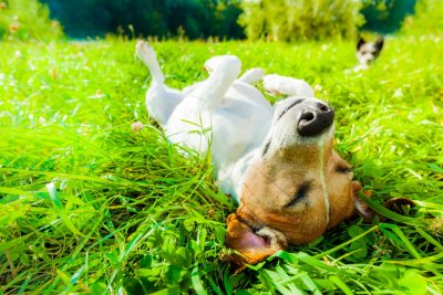 Dog lying on back in grass