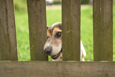 Jack Russell Terrier dog looking through fence