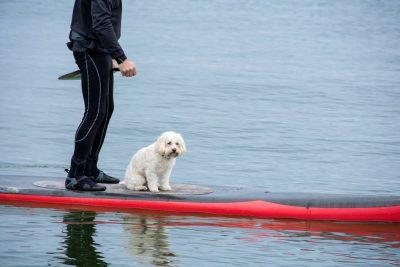 Poodle on paddleboard