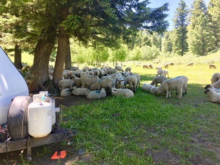 Sheep at boondocking spot