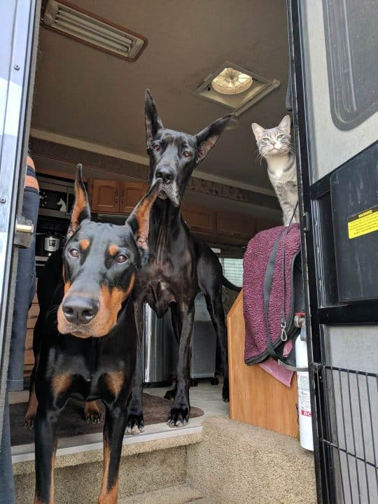 Two big dogs and cat looking out RV door